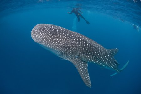 Young whale shark