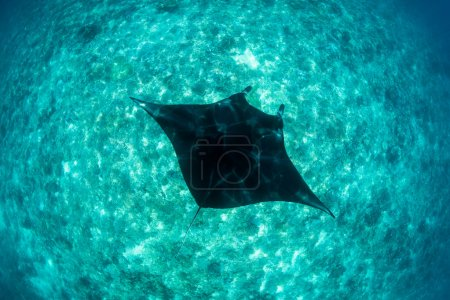 Manta Ray in Depths