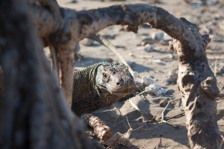 Komodo Dragon Looking Through Tree Roots
