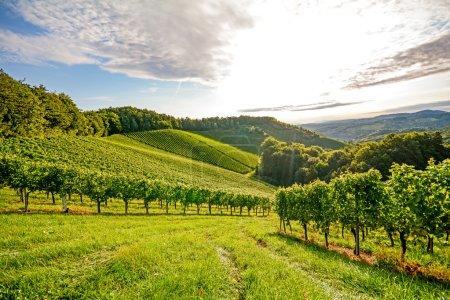 Vignes dans un vignoble en automne - Raisins de cuve avant récolte