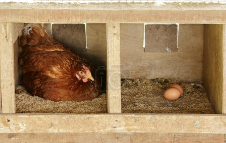 Photo for Hen in a wooden nesting box as she concentrates on laying an egg. - Royalty Free Image