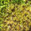 Macro of green sphagnum moss with morning dew....