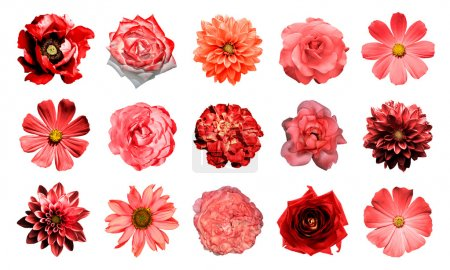 Mix collage of natural and surreal red flowers 15 in 1: dahlias, primulas, perennial aster, daisy flower, roses, peony isolated on white