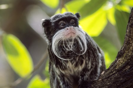 Emperor Tamarin looking around sat in tree amongst leaves in a Zoo