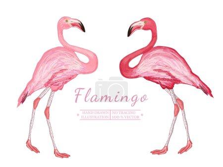 Two flamingo isolated on white background
