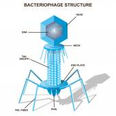 Virus bacteriophage model Isolated vector illustration