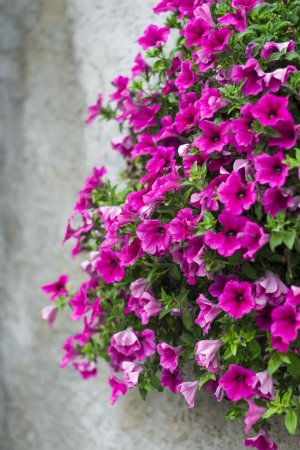 Flowers petunias