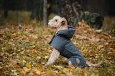 Dog in a raincoat in autumn forest