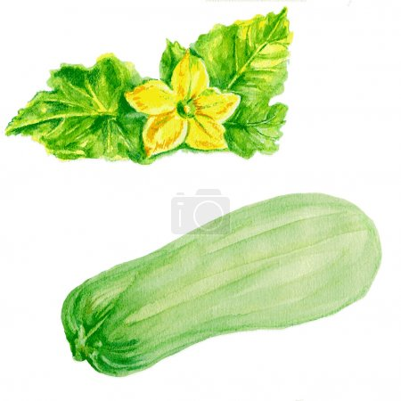 marrow zucchini, zucchini flower watercolor illustration