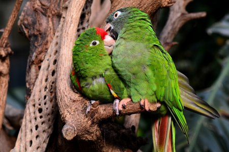 Green Parrot lovebirds