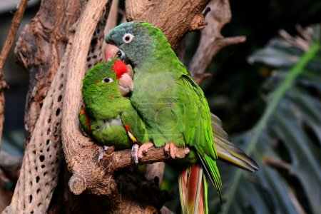 Snuggling green parrots show love for each other.