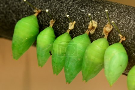 Butterfly cocoons in the gardens
