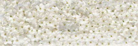 Photo pour Fleurs de cerisier blanc fond panoramique - image libre de droit