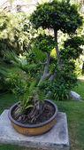 Giant Bonsai tree in a park