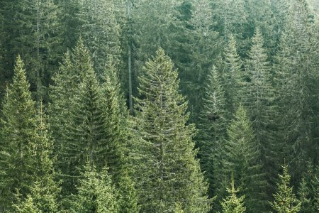 Photo pour Healthy, green coniferous forest with old spruce, fir and pine trees in wilderness area of a national park. Sustainable industry, ecosystem and healthy environment concepts. - image libre de droit