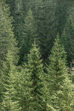 Photo pour Healthy, big green coniferous trees in a forest of old spruce, fir and pine trees in wilderness area of a national park, lit by bright yellow sunlight. Sustainable industry, ecosystem and healthy environment concepts. - image libre de droit