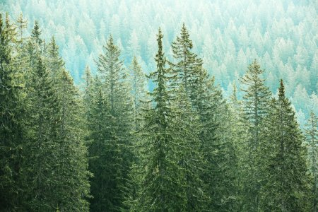 Photo pour Healthy, big green coniferous trees in a forest of old spruce, fir and pine trees in wilderness area of a national park. Sustainable industry, ecosystem and healthy environment concepts. - image libre de droit