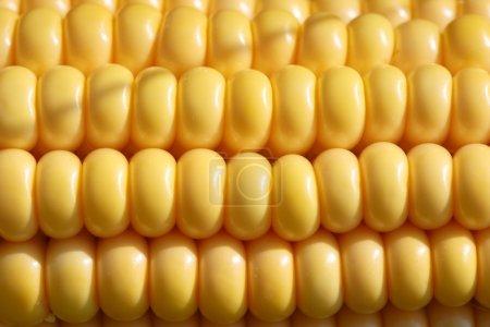 Closeup of ripe, yellow corn kernels, set in neat ...