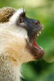 Vervet monkey showing its fangs in African jungle
