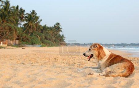 Stray dog at the beach  Image ID:274089119