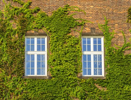 Old window with ivy growing on wall of bricks