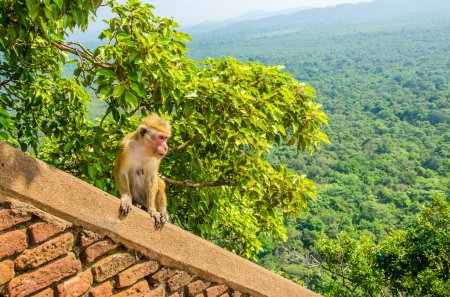 Monkey on wall of Sigiriya ancient palace, Asia