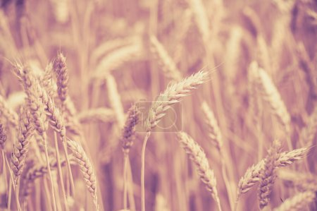 Photo of  ears on the beautiful wheat field toned in retro vintage style