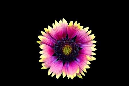 Photo pour Fleur isolée sur fond noir. Macro. Il peut être utilisé dans la conception et l'impression de sites Web. Aussi bon pour les concepteurs . - image libre de droit