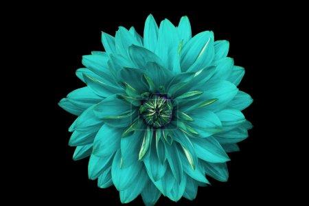 Photo pour Dahlia fleur isolée sur un fond noir. Macro. Il peut être utilisé dans la conception et l'impression de sites Web. Convient aux concepteurs . - image libre de droit