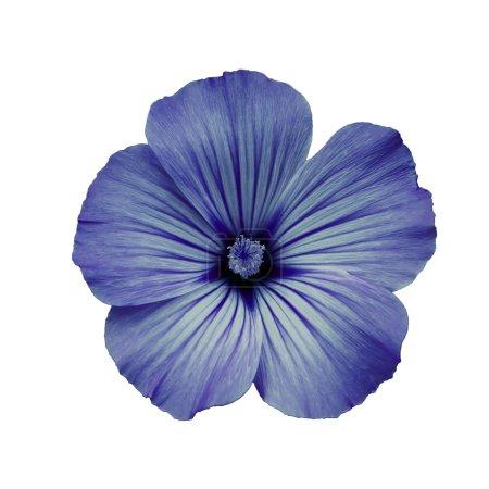 Photo pour Fleur, fond blanc isolé. Macro. Il peut être utilisé dans la conception et l'impression de sites Web. Convient aux concepteurs . - image libre de droit