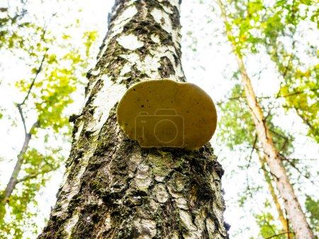 Mushroom on birch trees.  Chaga or tinder. Medicine and Pharmacy.  Bottom view.