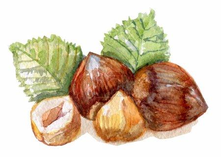 hazelnuts in watercolor