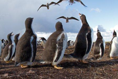 Photo pour Colonie de Pingouins Gentoo - image libre de droit