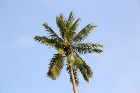 Palm Tree, Vanuatu