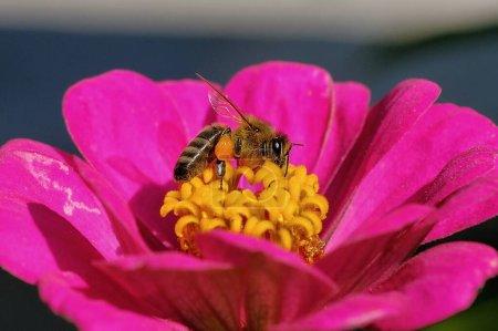 Nahaufnahme einer Honigbiene, die auf einer Blume sitzt und die zuckerhaltige Flüssigkeit auffängt, die in ihr abgesondert wird