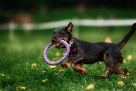 collie dog catching frisbee