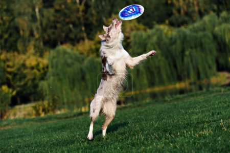 Border collie doing tricks in the Park