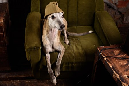 Dog breeds Whippet in the clothes of a soldier in the Studio