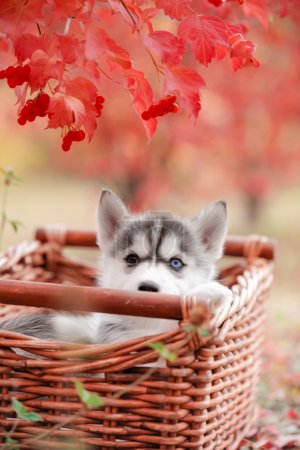 Puppy with different eyes hiding in red berries