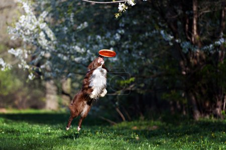 Border Collie dog catches the disc on a background of flowering garden
