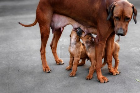 Adorable little Rhodesian Ridgeback puppies playing together in garden. Funny expressions in their faces. The little dogs are five weeks of age.