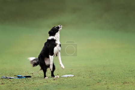 Border collie dog catching frisbee