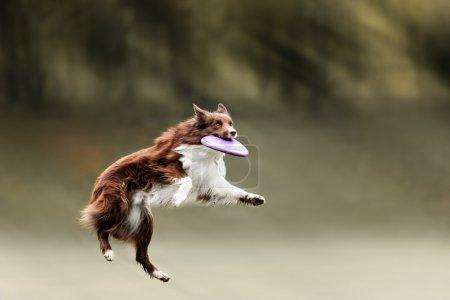 Border collie dog catching frisbee