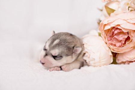 Photo pour Nouveau-né chiot husky sibérien et fleur en studio lumineux - image libre de droit