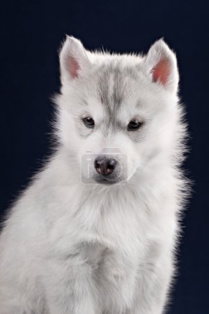 Cute little puppy of syberian husky
