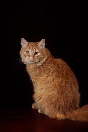 Studio portrait of red cat