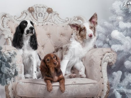 Two border collie dogs and one Dachshund in studio