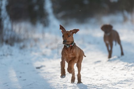 cute Rhodesian Ridgeback dog on winter background