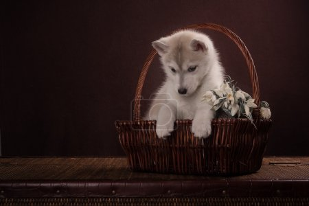 Husky dog puppy one month old in a basket