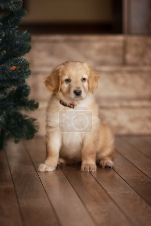 Cute gold hovawart puppy